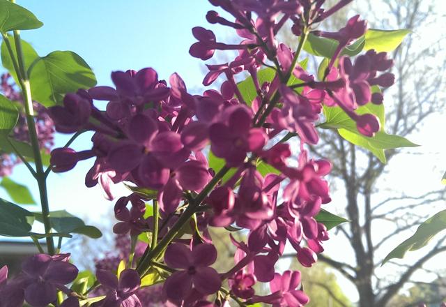 LavenderTree